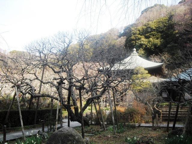 F04) 鎌倉「瑞泉寺」梅の頃」