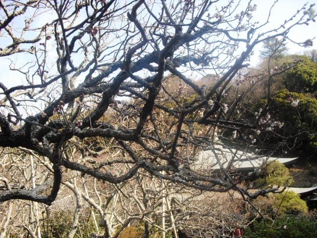 F14) 鎌倉「瑞泉寺」梅の頃」