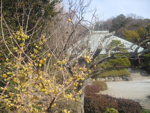 I13) 鎌倉五山第五位「浄妙寺」梅の頃