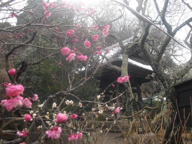 11) 雪の日、鎌倉「東慶寺」梅の頃。11.02.12