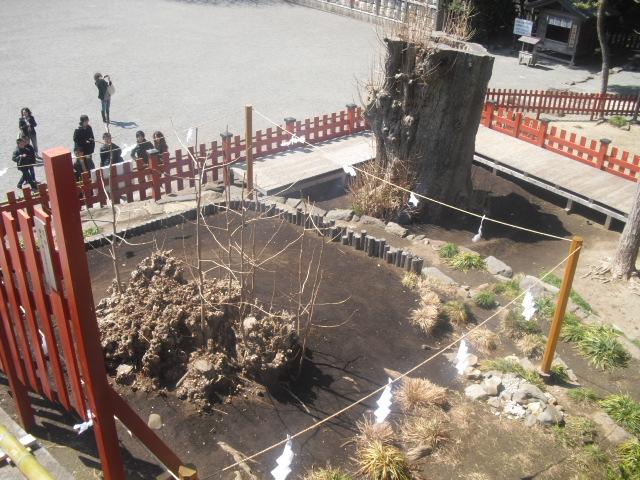 11) 倒壊した大銀杏の、根側と幹側。時期が来れば、ちゃんと葉をつける。