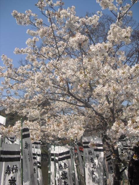 19)  ' 旗上弁財天社 ' の桜
