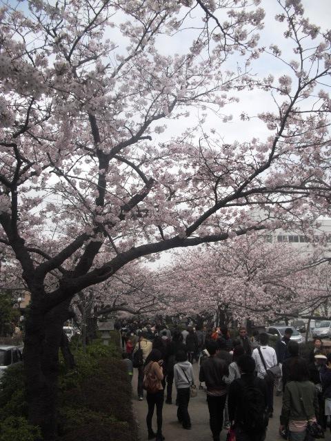 """06) 鎌倉「鶴岡八幡宮」参道 """" 段葛 """" の桜"""