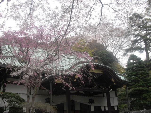 04)  謹んで参拝祈願いたしました。鎌倉「妙本寺」桜満開の頃。_  11.04.10