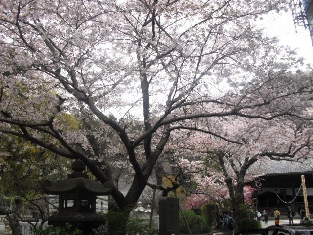 07)  謹んで参拝祈願いたしました。鎌倉「妙本寺」桜満開の頃。_  11.04.10