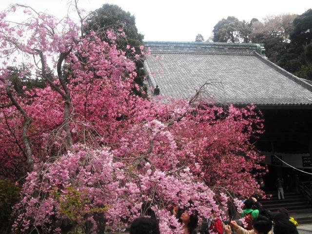 12)  謹んで参拝祈願いたしました。鎌倉「妙本寺」桜満開の頃。_  11.04.10