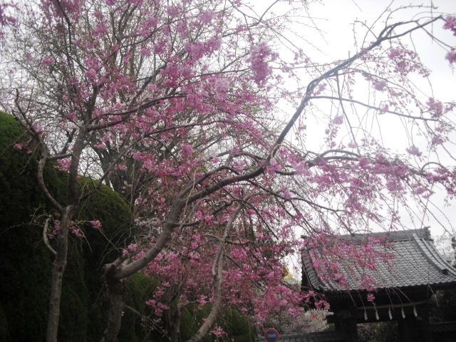 01) 山門の外、駐車場の枝垂れ桜。_ 「長勝寺」 鎌倉市大町