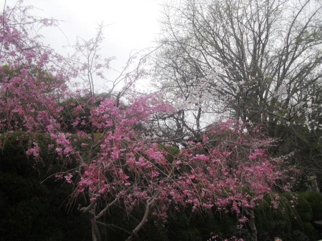 02) 山門の外、駐車場の枝垂れ桜。_ 「長勝寺」 鎌倉市大町