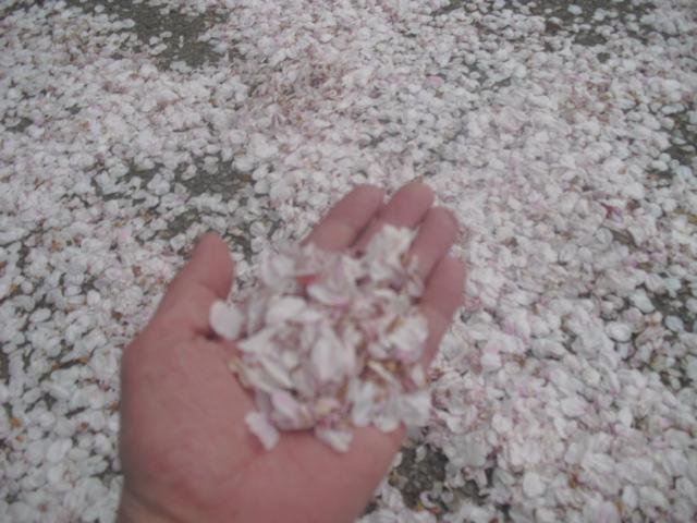03) この日の強い風で大部分の桜が散った。