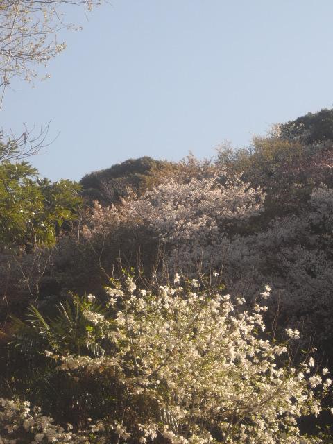 02) 自宅周辺の山桜