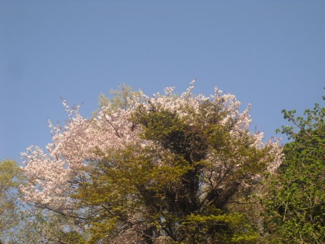 04) 自宅周辺の山桜