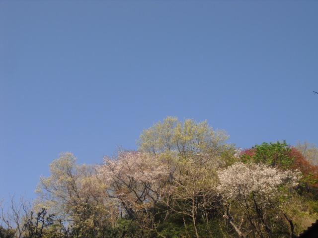 05) 自宅周辺の山桜