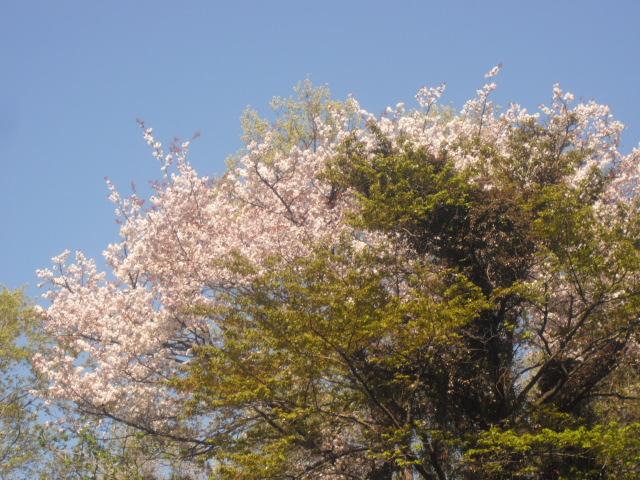 08) 自宅周辺の山桜