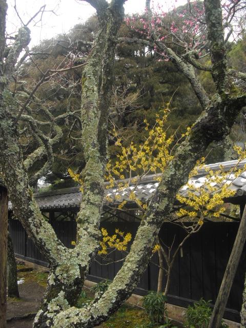 18) 雪の日、鎌倉「東慶寺」梅の頃。11.02.12