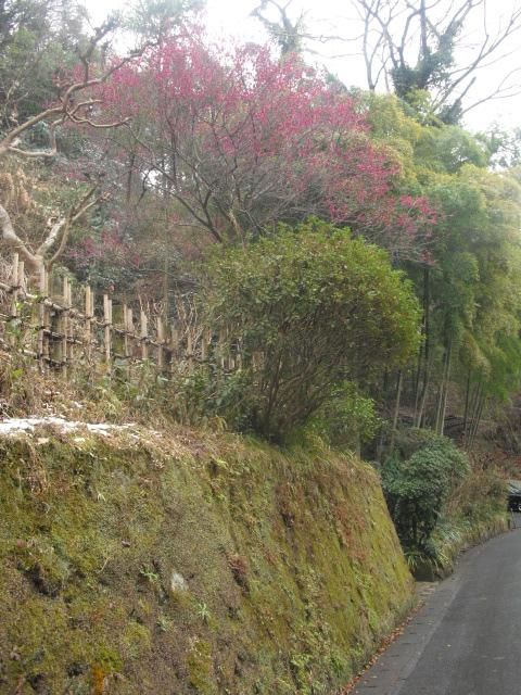 03) 民家の庭に咲く梅 _ 鎌倉市山ノ内 '名月院通り'