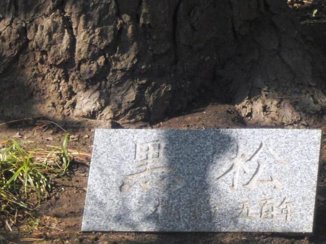 03) 樹齢500年の黒松