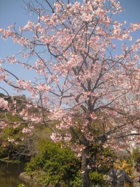02) ' 源平池 '、通称 平家池側、一方の桜。