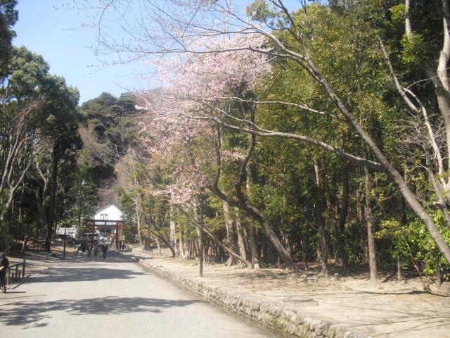 05) ' 流鏑馬馬場(流鏑馬道) ' の桜。04)と同じ桜。
