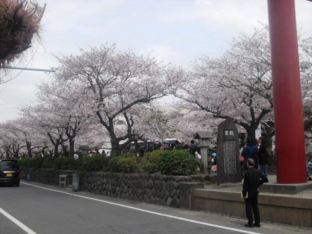 """04) 鎌倉「鶴岡八幡宮」参道 """" 段葛 """" の桜"""