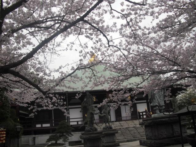 05) 境内の桜 _ 「長勝寺」
