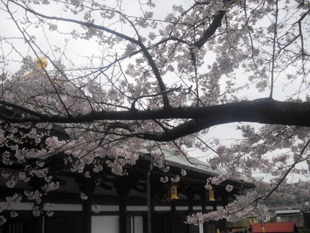 08) 境内の桜 _ 「長勝寺」
