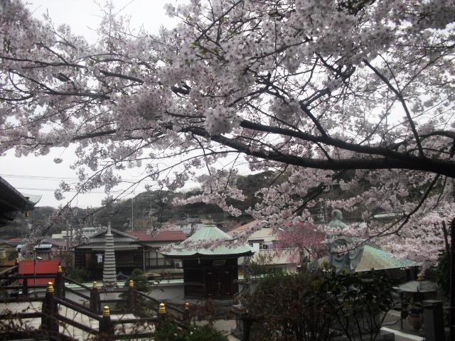 09) 境内の桜 _ 「長勝寺」