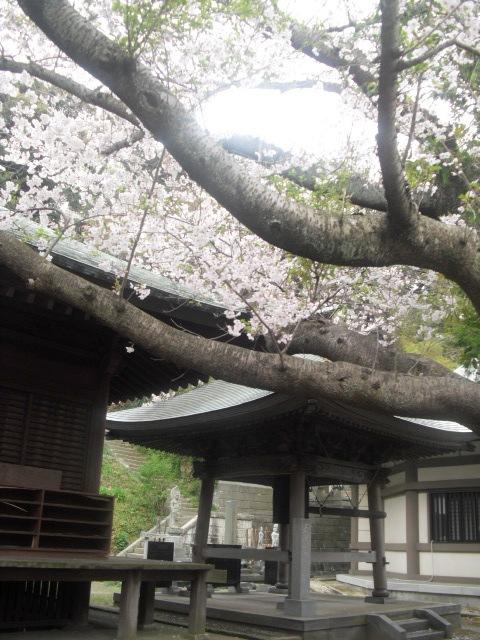 10) 境内の桜 _ 「長勝寺」