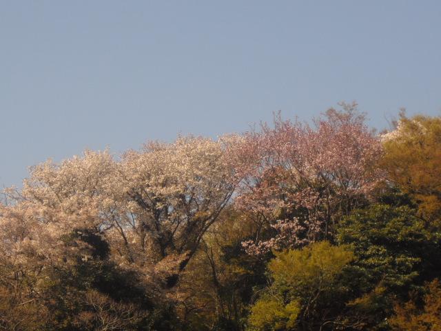 07) 自宅周辺の山桜
