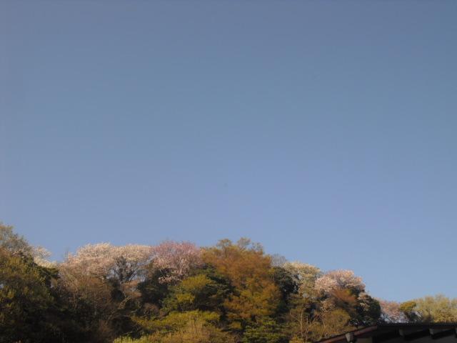 09) 自宅周辺の山桜