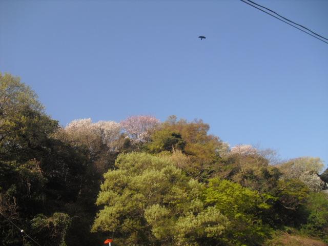 10) 自宅周辺の山桜