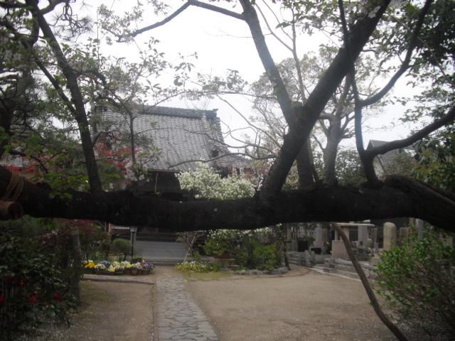 04)  桜の幹越しに本殿を見る _ 時宗「教恩寺」 _ 鎌倉市大町