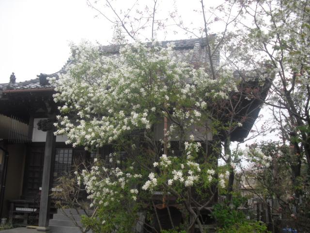06) 植栽越しに本殿を見る _ 時宗「教恩寺」 _ 鎌倉市大町