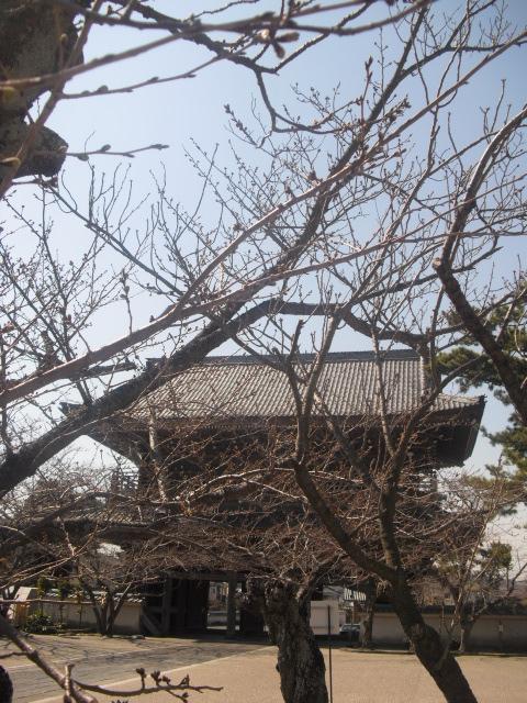 02) 開花を待つ桜の蕾、鎌倉「光明寺」。