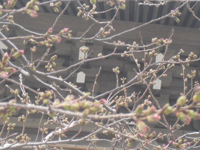 03) 今年の観桜会は中止、鎌倉「光明寺」。