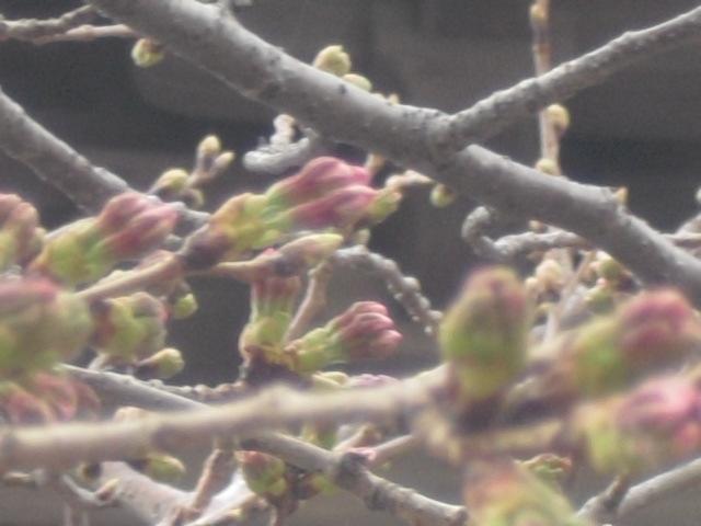 04) 今年の観桜会は中止、鎌倉「光明寺」。