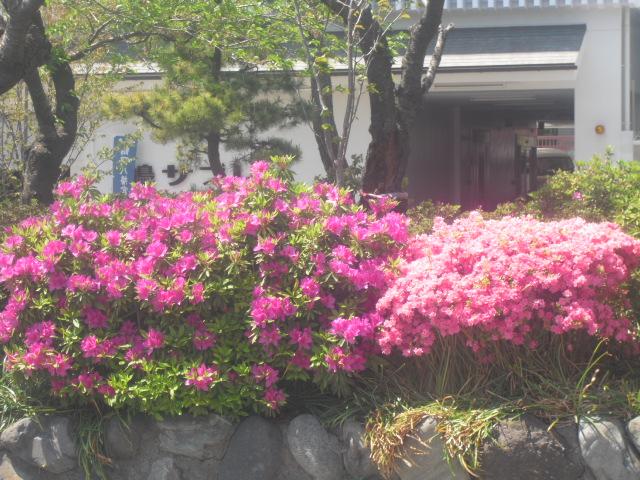 04) 鎌倉「鶴岡八幡宮」 ' 段葛 '、ツツジの頃。_11.04.25