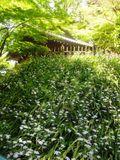 02) 鎌倉「妙本寺」、シャガの花咲く頃。