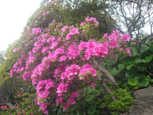03) 開花を待つツツジの生垣、鎌倉「安養院」。