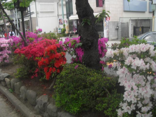 02) 鎌倉「鶴岡八幡宮」参道 ' 段葛 ' のツツジ _ 11.036.03