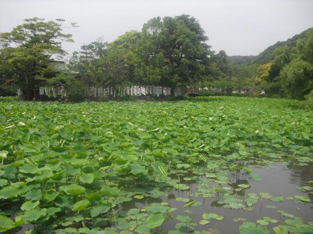 01) 梅雨時の源平池、鎌倉「鶴岡八幡宮」。