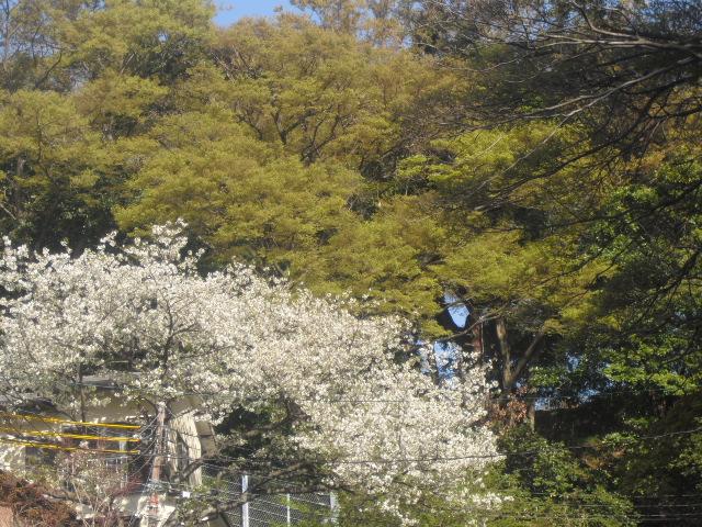 01) 自宅周辺の山桜