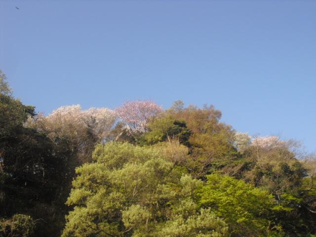 03) 自宅周辺の山桜