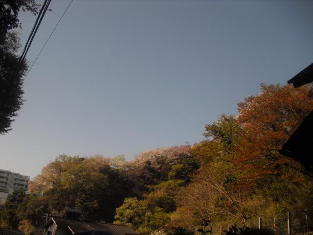 06) 自宅周辺の山桜