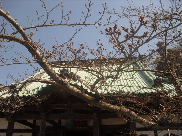 01) 開花を待つ桜の蕾、鎌倉「光明寺」。