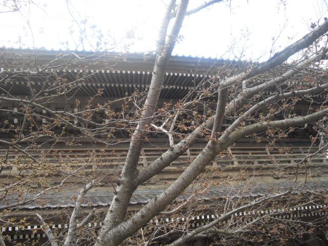 02) 今年の観桜会は中止、鎌倉「光明寺」。