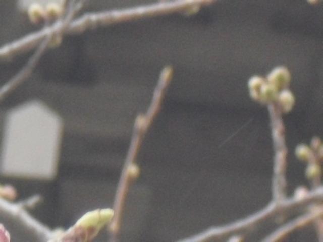 05) 今年の観桜会は中止、鎌倉「光明寺」。