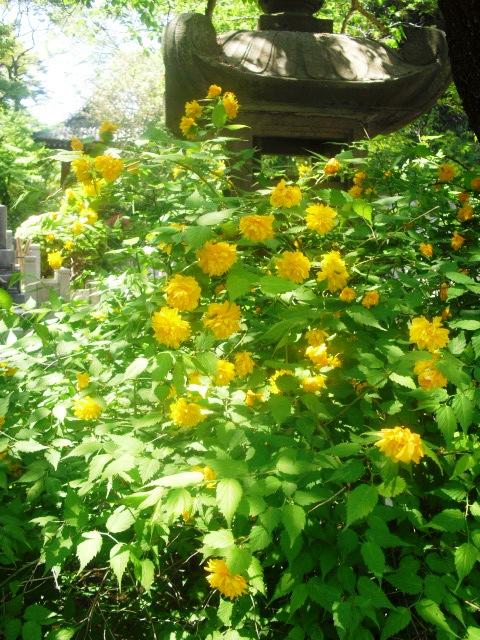 03) 鎌倉「妙本寺」、シャガの花咲く頃。