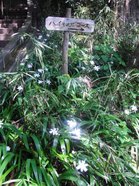 05) 鎌倉「妙本寺」、シャガの花咲く頃。