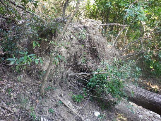 07) 倒れた木の根元側