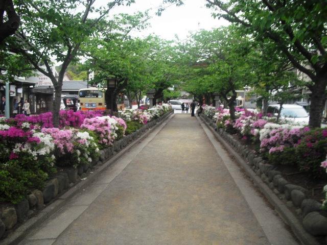 03) 鎌倉「鶴岡八幡宮」参道 ' 段葛 ' のツツジ _ 11.036.03